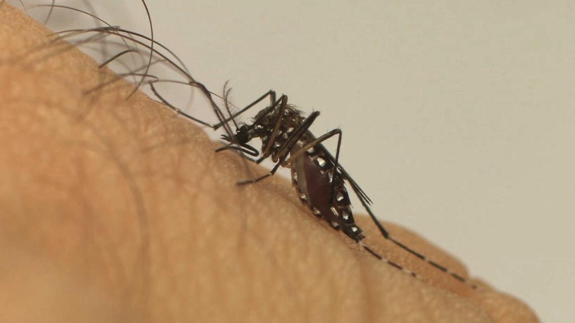 Cientistas alertam para risco de chikungunya em áreas de mata