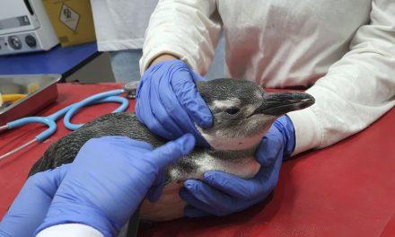 Petrobras resgatou este ano 3.084 pinguins nas praias brasileiras