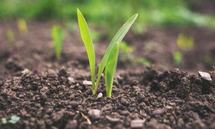Emater disponibiliza sementes mais produtivas aos agricultores goianos