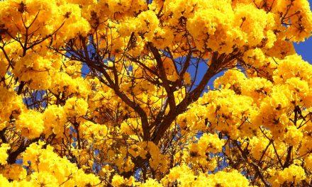 Plantio de ipês celebra Dia da Árvore