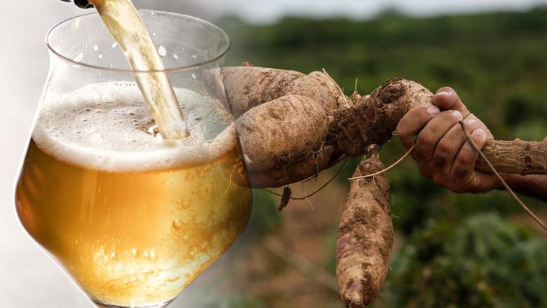 Projeto da cerveja de mandioca é ampliado para adquirir 3.000 mil ton do alimento em Goiás