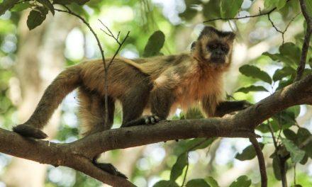 Aumenta número de macacos mortos por febre amarela