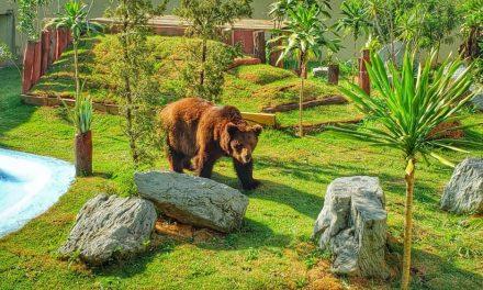 Decisão confirma permanência do urso Robinho no Zoológico de Goiânia